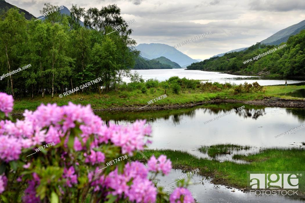Stock Photo: Rhododendron flowers and visitor on River Leven at the Head of Loch Leven in Kinlochleven with Pap of Glencoe sugarcone and Mamores Scotland UK.