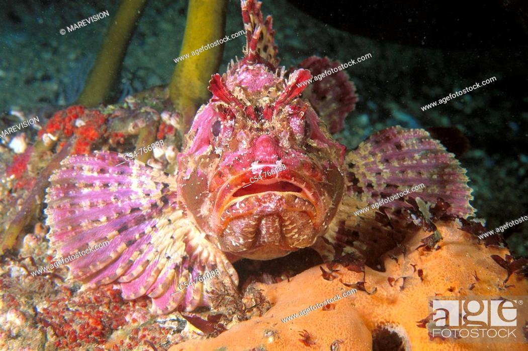 Stock Photo: Eastern Atlantic Galicia Spain Brown sea scorpion Scorpaena porcus.
