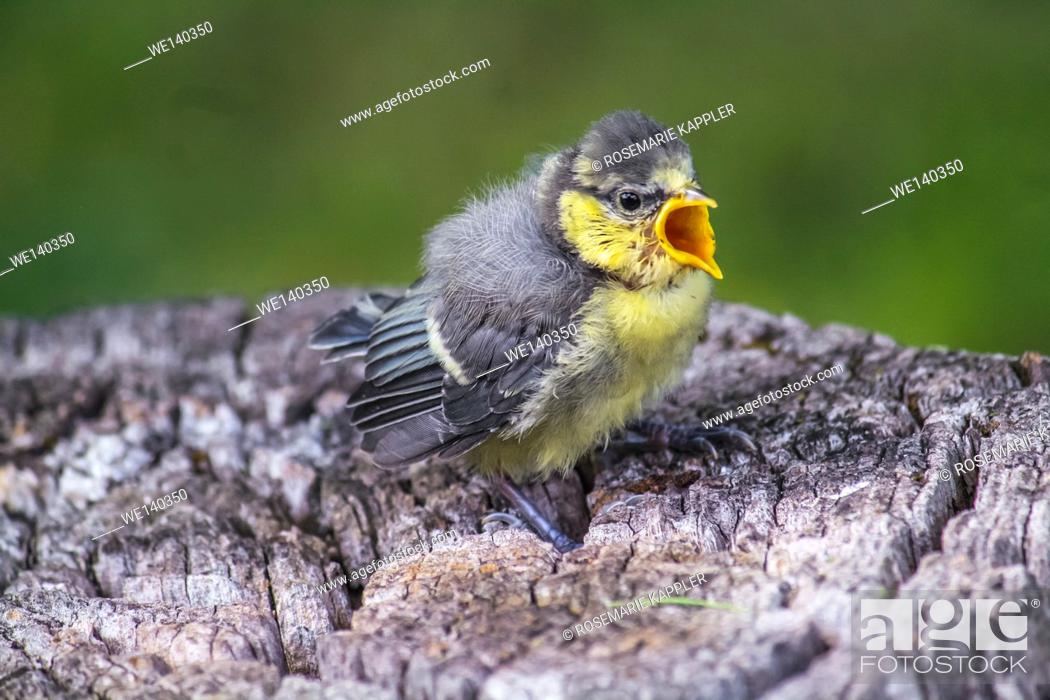 Stock Photo: Germany, Saarland, Homburg, A crying young blue tit on a tree stump.