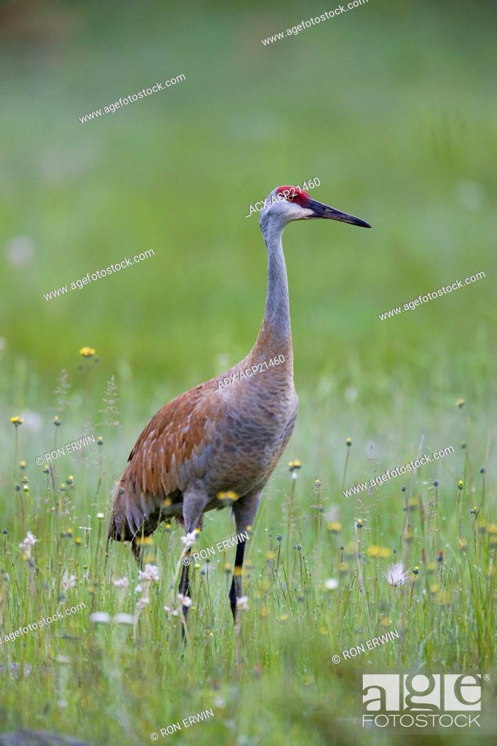 Stock Photo: Sandhill Crane Grus canadensis in grasslands, Barrie Island, Manitoulin Island, Ontario, Canada.