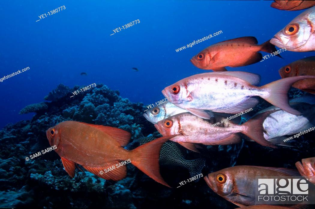 Stock Photo: School of Blotcheye Soldierfish Myripristis Berndti and Redcoat Squirrelfish Sargocentron rubrum swimming on a coral reef, Le Sournois Reef, Noumea Lagoon.