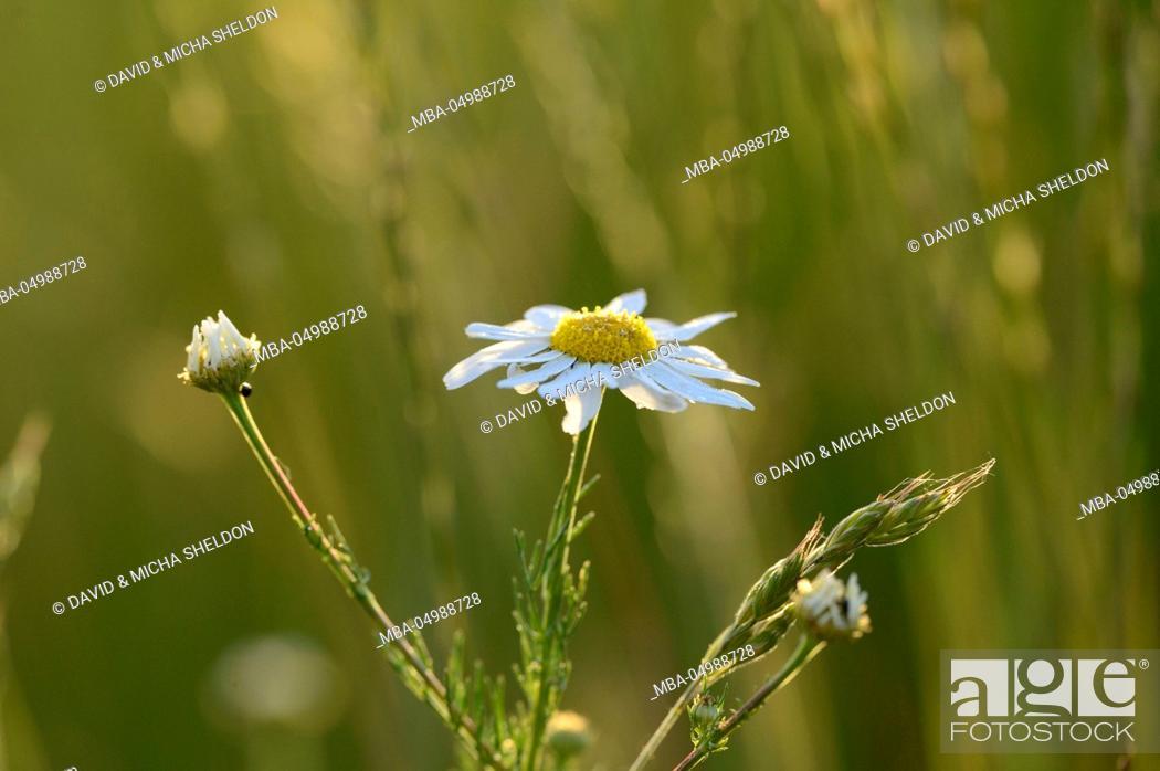 Stock Photo: scentless chamomile, Tripleurospermum maritimum, blossom, red, close-up.