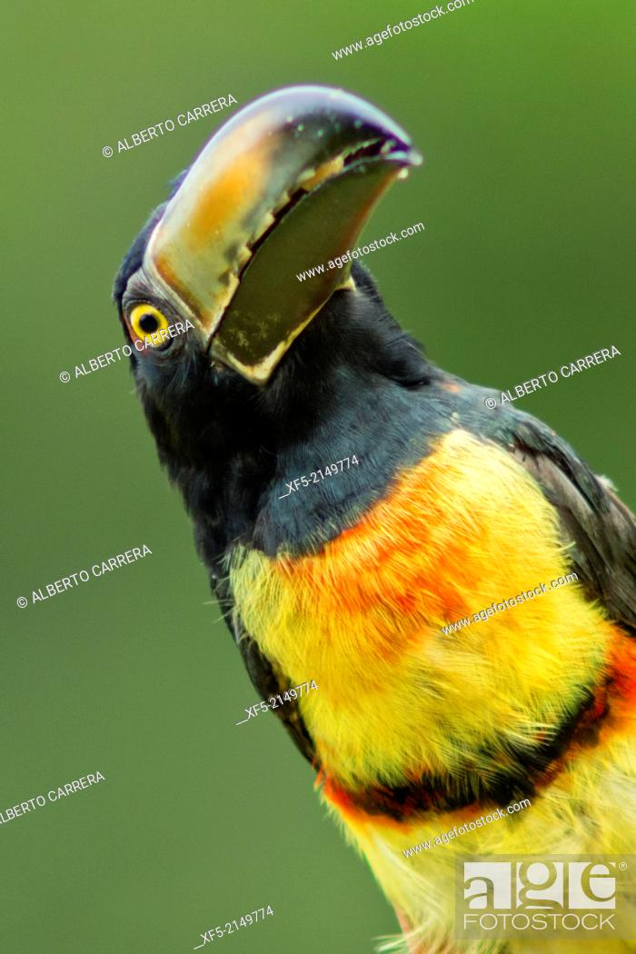 Stock Photo: Collared Aracari, Toucan, Pteroglossus torquatus, Tropical Rainforest, Costa Rica, Central America, America.