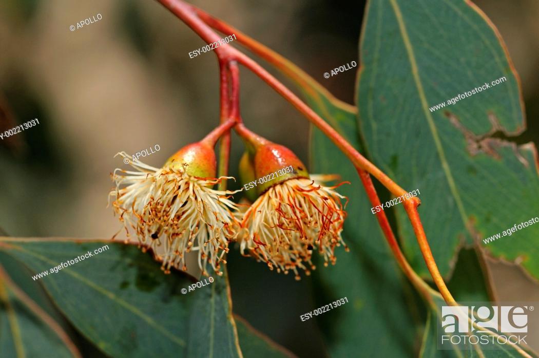 Stock Photo: Eucalyptus Red ironbark, Eucalyptus sideroxylon, Mugga, Naries, Namaqualand, South Africa.
