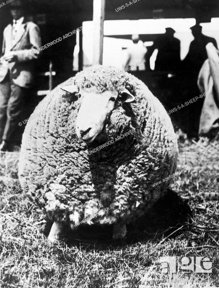 Stock Photo: Ashford, England: July 29, 1924.This Kent ram, bearing its third fleece, won first prize at the Kent County Agricultural Show.