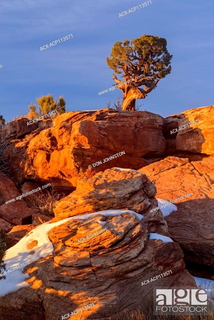 Stock Photo: Juniper on snow covered rocks, Dead Horse Point State Park, Utah, USA.