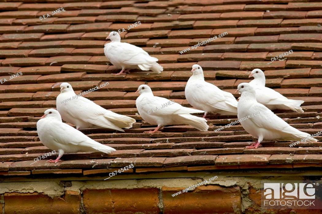 Stock Photo: Fantail Pigeons.