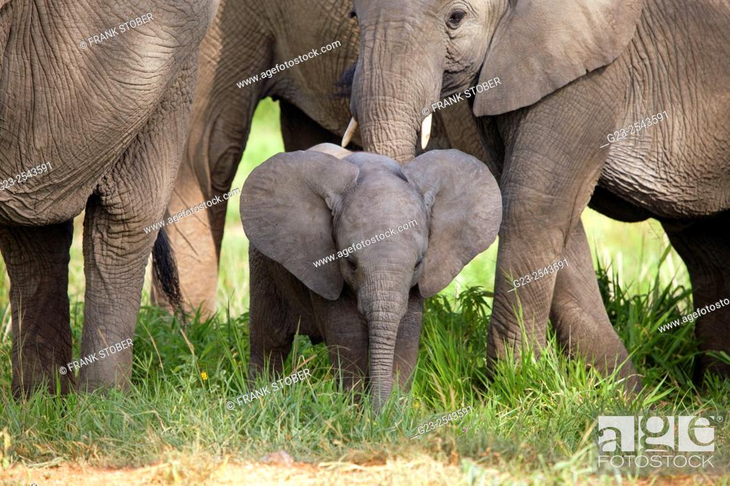 Stock Photo: African elephants with calf.