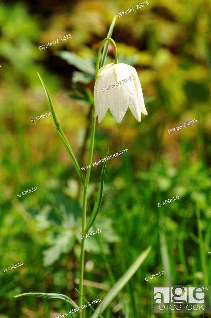 Stock Photo: White Checkered daffodil, Fritillaria meleagris subvar  alba.