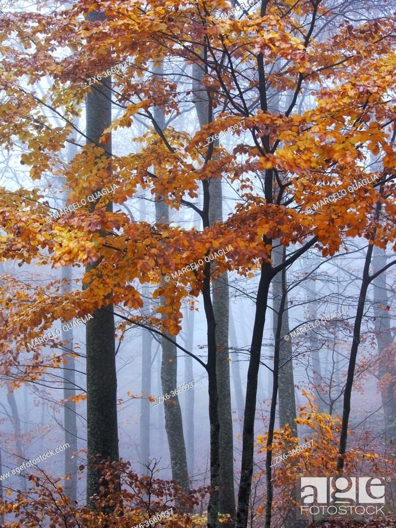 Photo de stock: Foggy autumn beech forest at Pla del Rovirol site. Montseny Natural Park. Barcelona province, Catalonia, Spain.