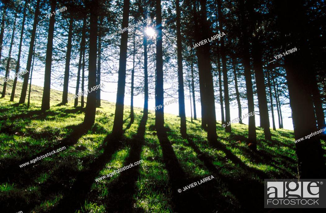 Stock Photo: Pine trees.