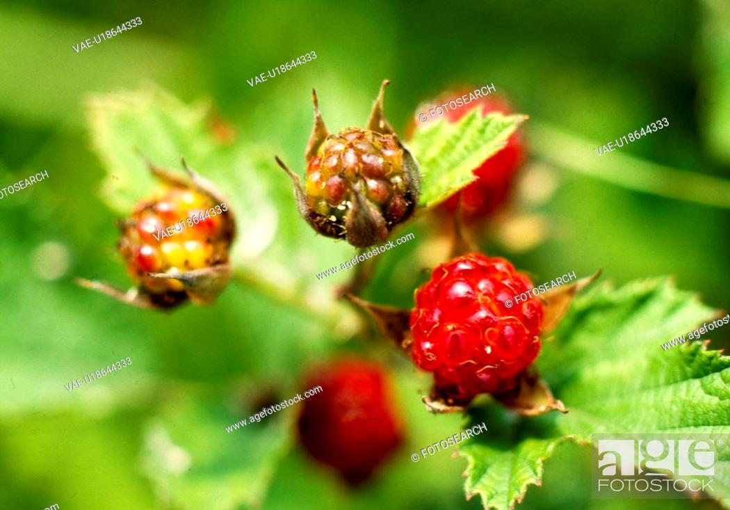 Stock Photo: plant, nature, mountain berry, wild berry, scene, plants, landscape.