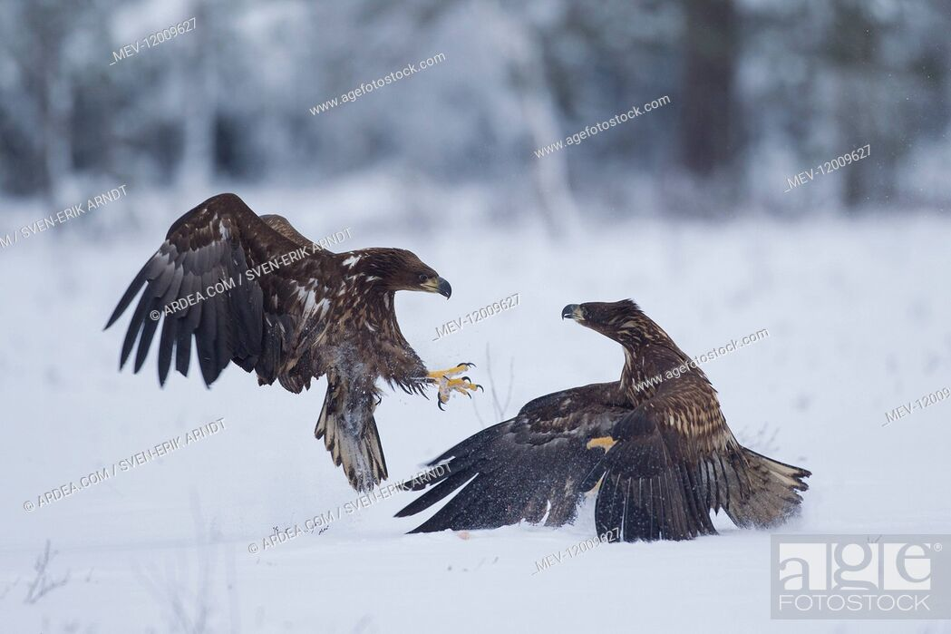 Stock Photo: White-Tailed Eagle - eagles fighting - Sweden.
