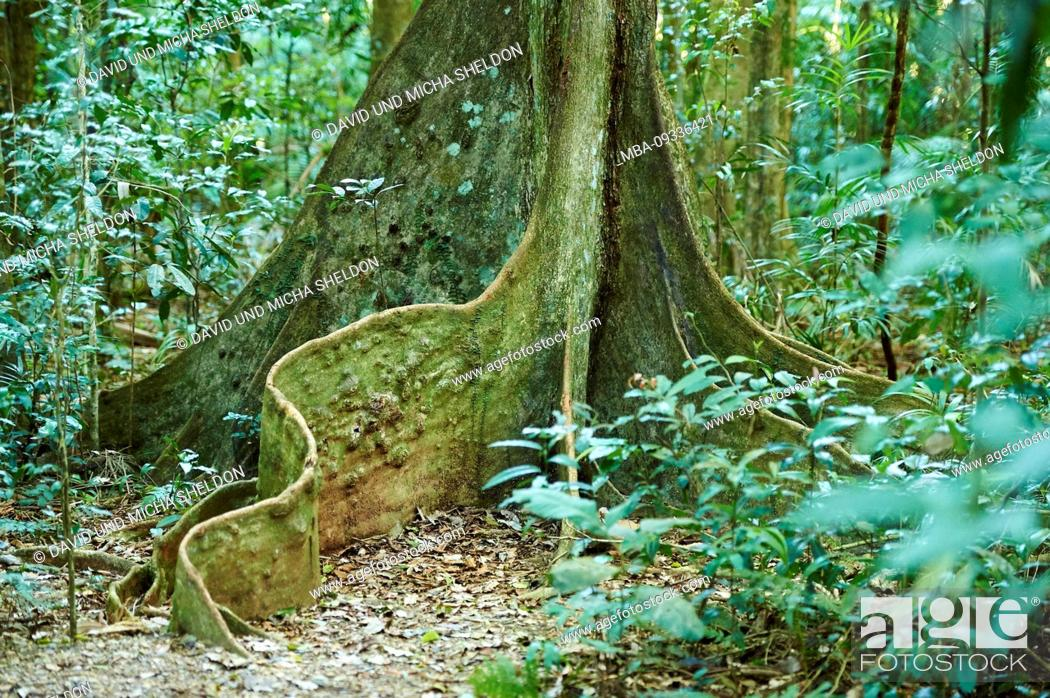 Stock Photo: Roots of sequoia, Planchonella australis, in rainforest, in the morning in the Mary Cairncross Scenic Reserve, Spring, Queensland, Australia.