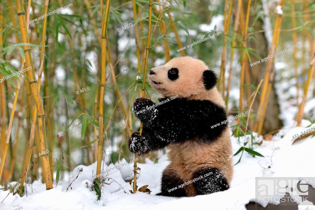 Stock Photo: Giant Panda, China.