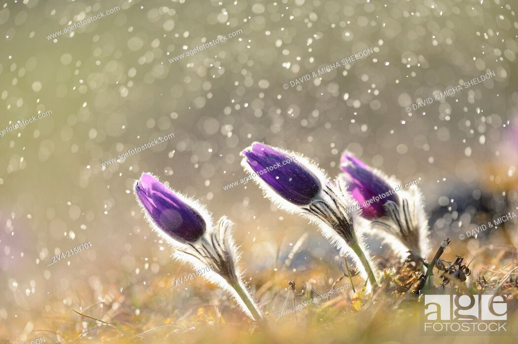 Stock Photo: A group of Pulsatilla (Pulsatilla vulgaris) blooms in the grassland on a rainy evening in early spring, Bavaria, Germany.