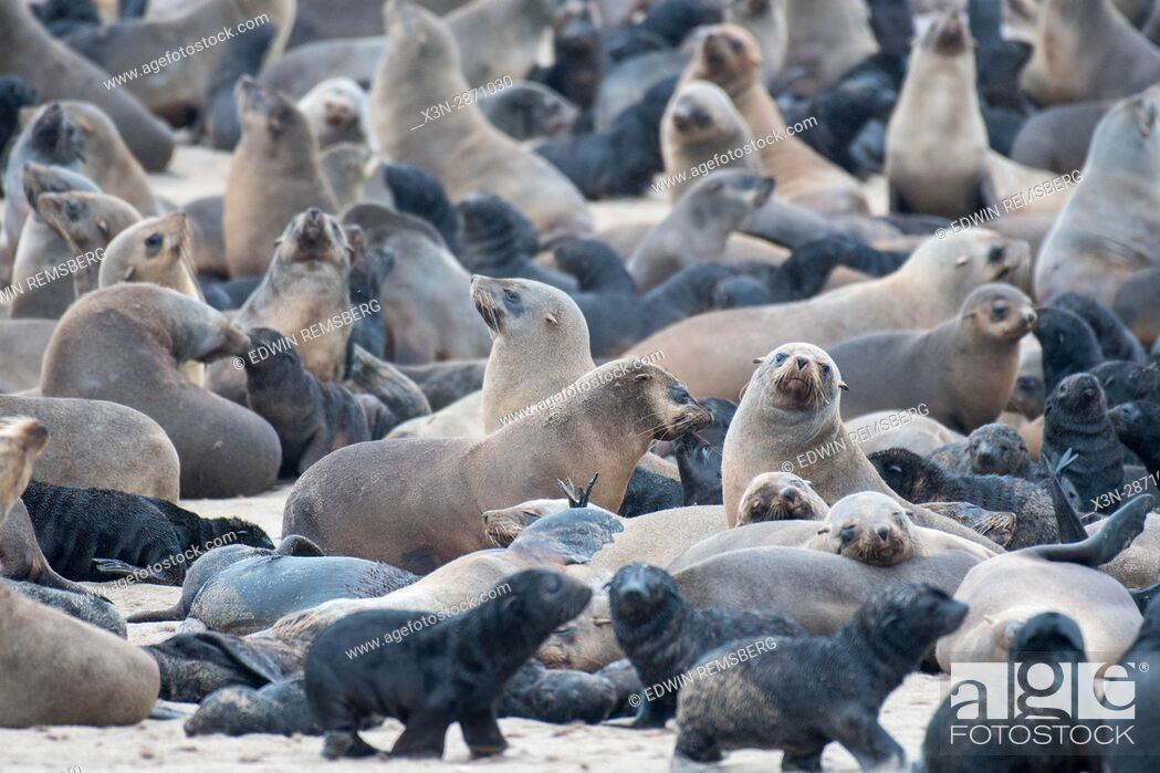 Stock Photo: Cape fur seals are gathered and resting along the beaches of Cape Cross, located in Namibia, Africa. The Cape Cross Seal Reserve is the largest government.