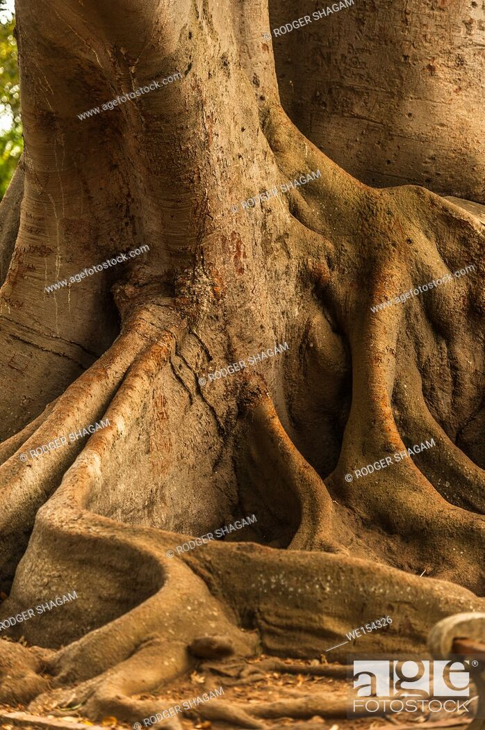 Stock Photo: Power tree roots above the ground. Cape Town, South Africa.