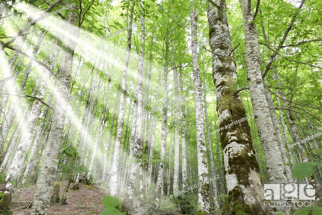 Stock Photo: Forest in the Seva de Irati in Navarra, Spain.