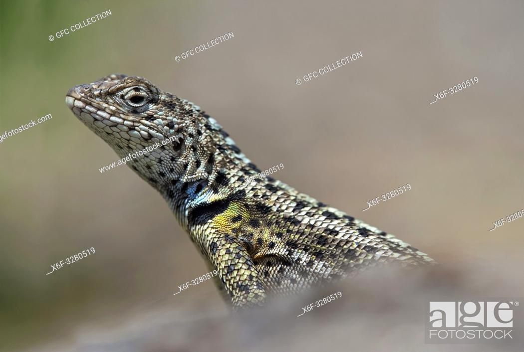 Stock Photo: Male, Lava Lizard ( (Microlophus grayii), an endemic species on Floreana Island, Galapagos Islands, Ecuador.