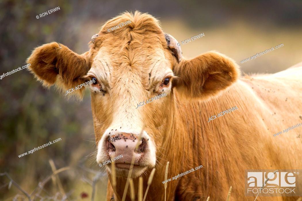 Stock Photo: Red Angus cross cow, Barrie Island, Ontario.