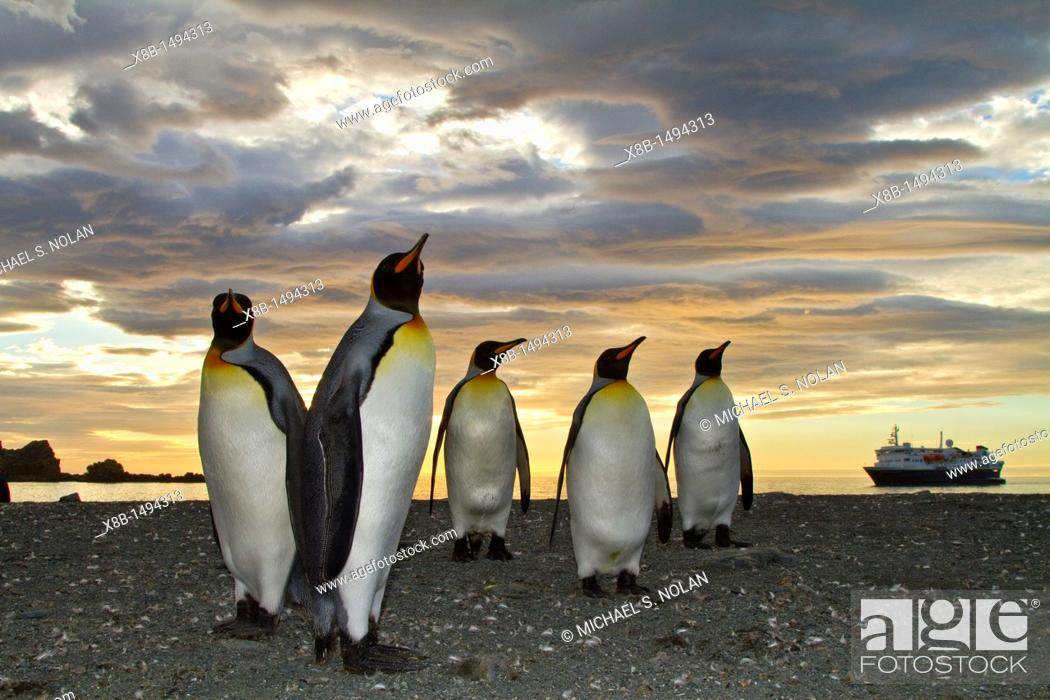 Imagen: King penguins Aptenodytes patagonicus at sunrise on South Georgia Island, Southern Ocean  MORE INFO The king penguin is the second largest species of penguin at.