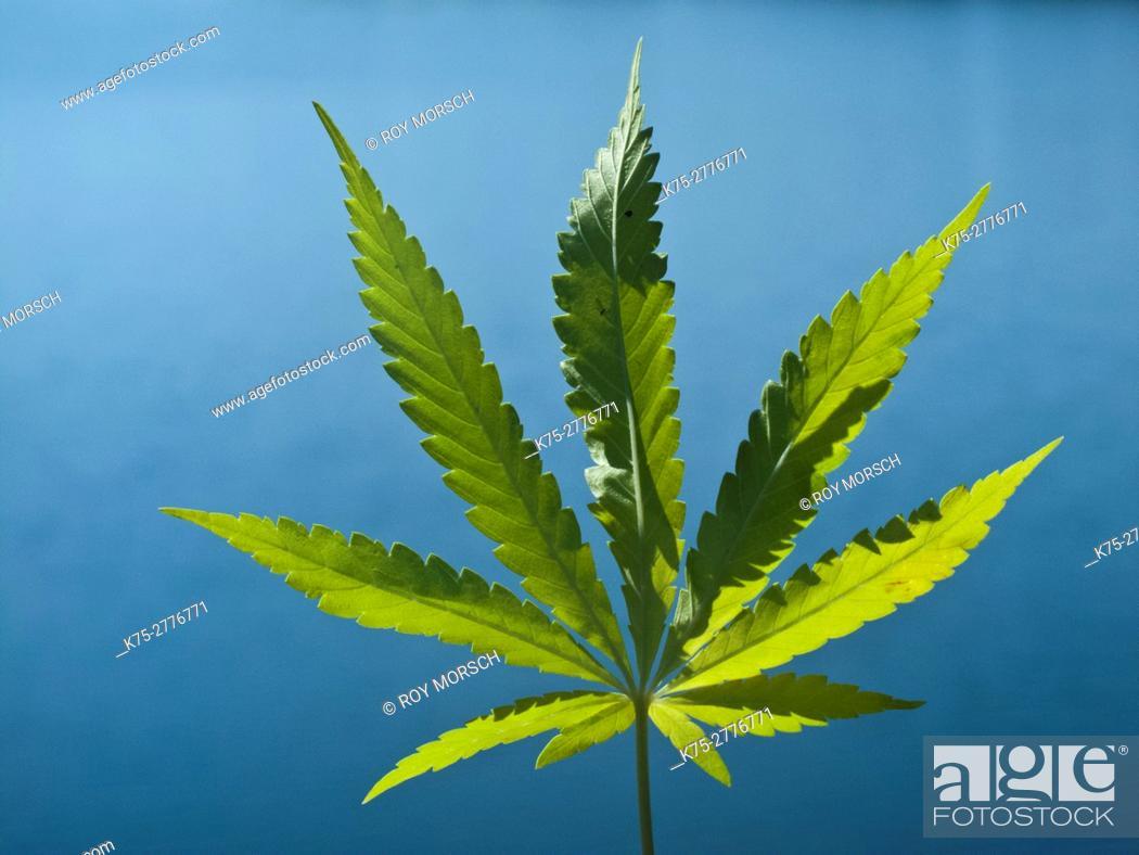 Imagen: cannabis, marijuana.