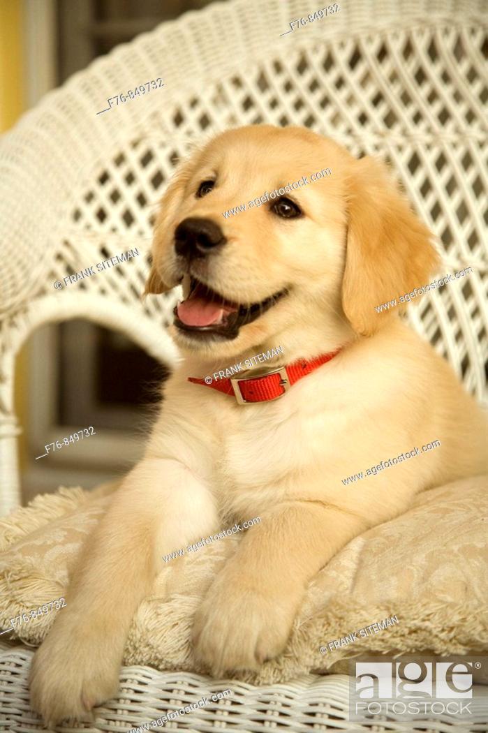 Stock Photo: Portrait of a twelve week old golden retriever puppy.