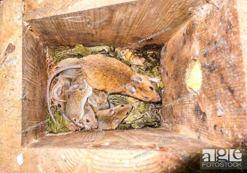 Stock Photo: Female Yellow-necked Mouse (Apodemus flavicollis) with young in Dormouse nest box, Woolhope Herefordshire UK. June 2020.