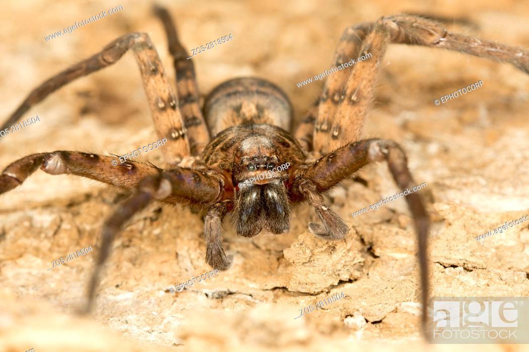 Stock Photo: Huntsman spider, Heteropoda sp. , Barnawapara WLS, Chhattisgarh.