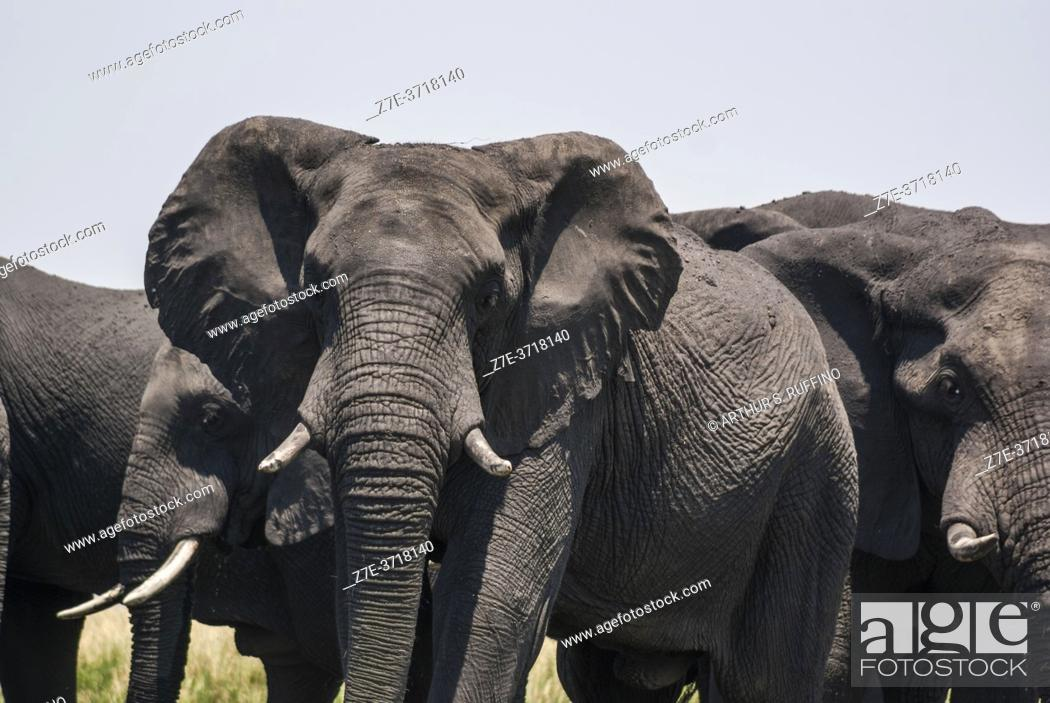 Stock Photo: African elephants (Loxodonta) marching to the river for a swim. Chobe National Park, Botswana, Africa.