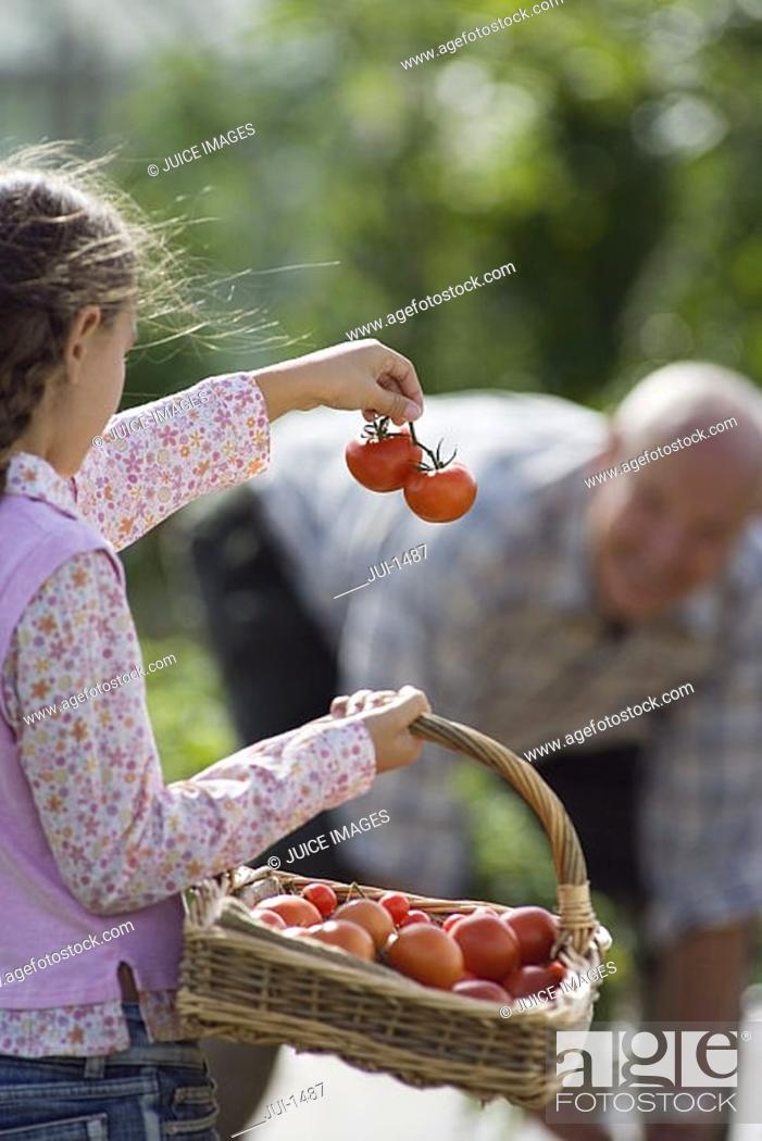 Stock Photo: Girl 8-10 carrying basket of tomatoes, showing bunch to grandfather working in vegetable garden.