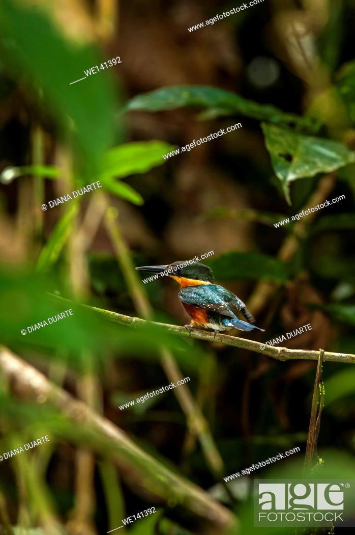 Stock Photo: ' Green Kingfisher', (Chloroceryle americana), It is oily green with a yellow-orange collar around the neck, rufous underparts and a white belly.