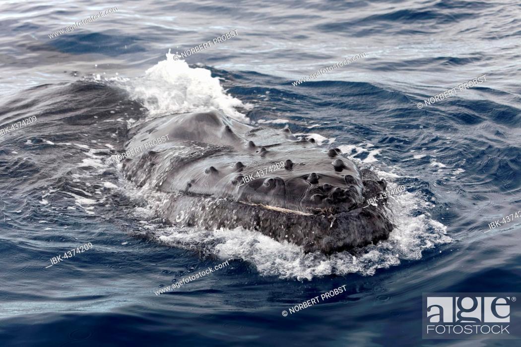 Stock Photo: Humpback whale (Megaptera novaeangliae), at sea surface, Queensland, Pacific, Australia.