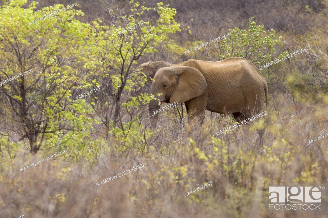 Stock Photo: Two African elephants (Loxodonta africana) in a bush, Etosha National Park, Namibia.
