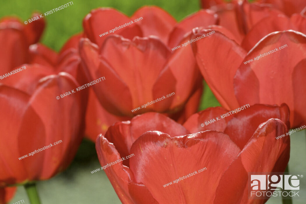 Stock Photo: Red tulips.