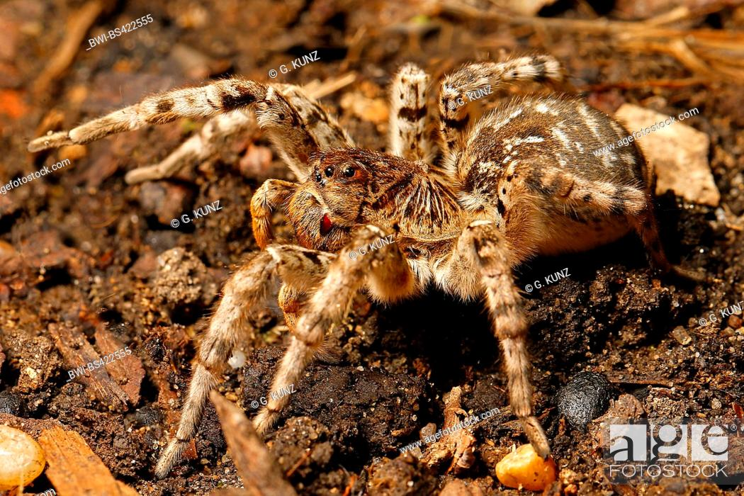 Stock Photo: South Russia tarantula (Lycosa singoriensis), on the ground, Austria.
