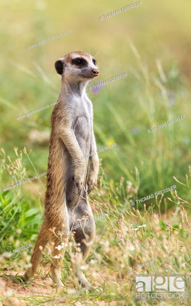 Stock Photo: Suricate (Suricata suricatta). Also called Meerkat. Guard on the lookout. During the rainy season in green surroundings. Kalahari Desert.