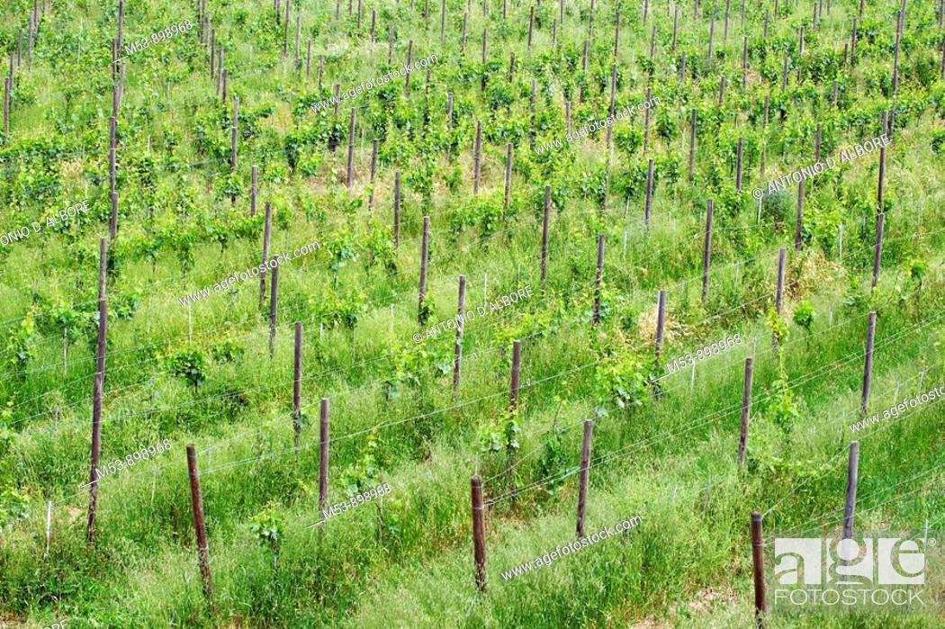 Stock Photo: vineyard during spring  dugenta  province of benevento  campania  italy  europe.