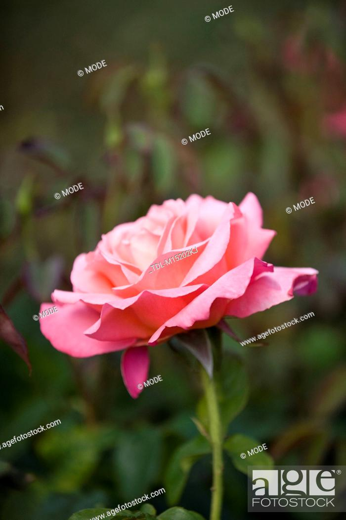 Stock Photo: A pink rose in full bloom.