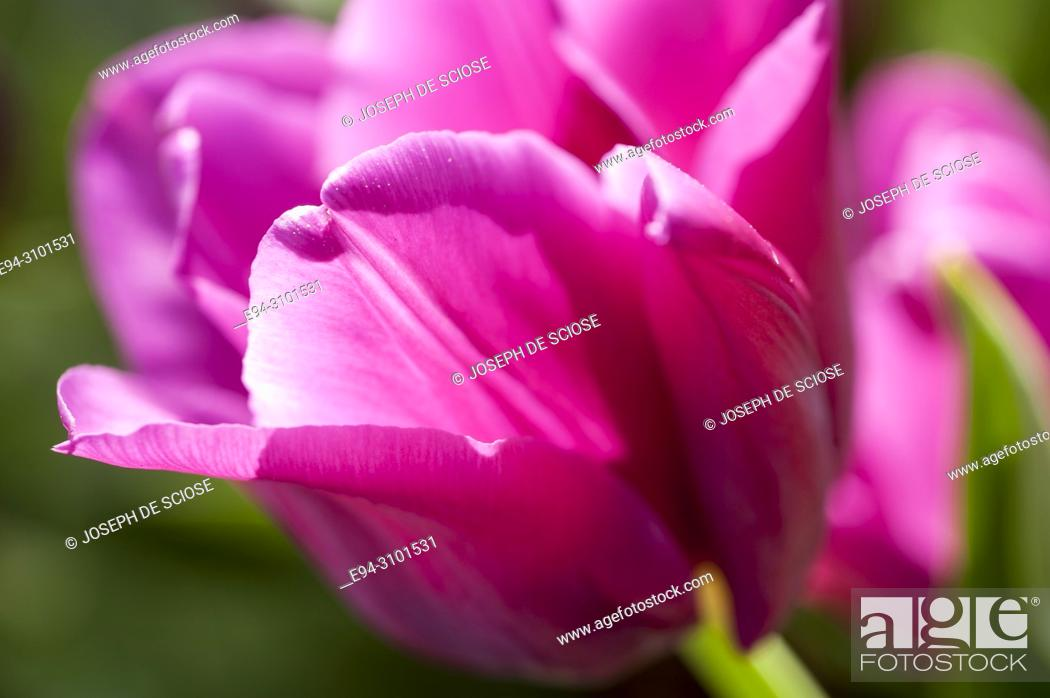 Photo de stock: Close-up of a a pink tulip in a garden backlit by the sun.