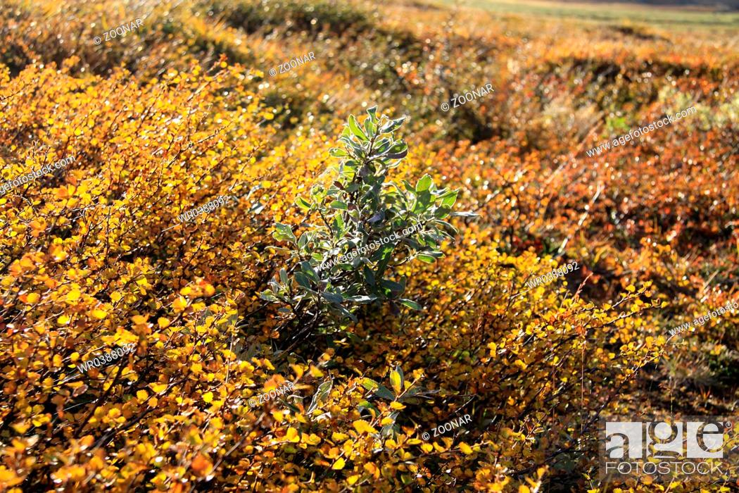 Stock Photo: Dwarf birch and polar birch.