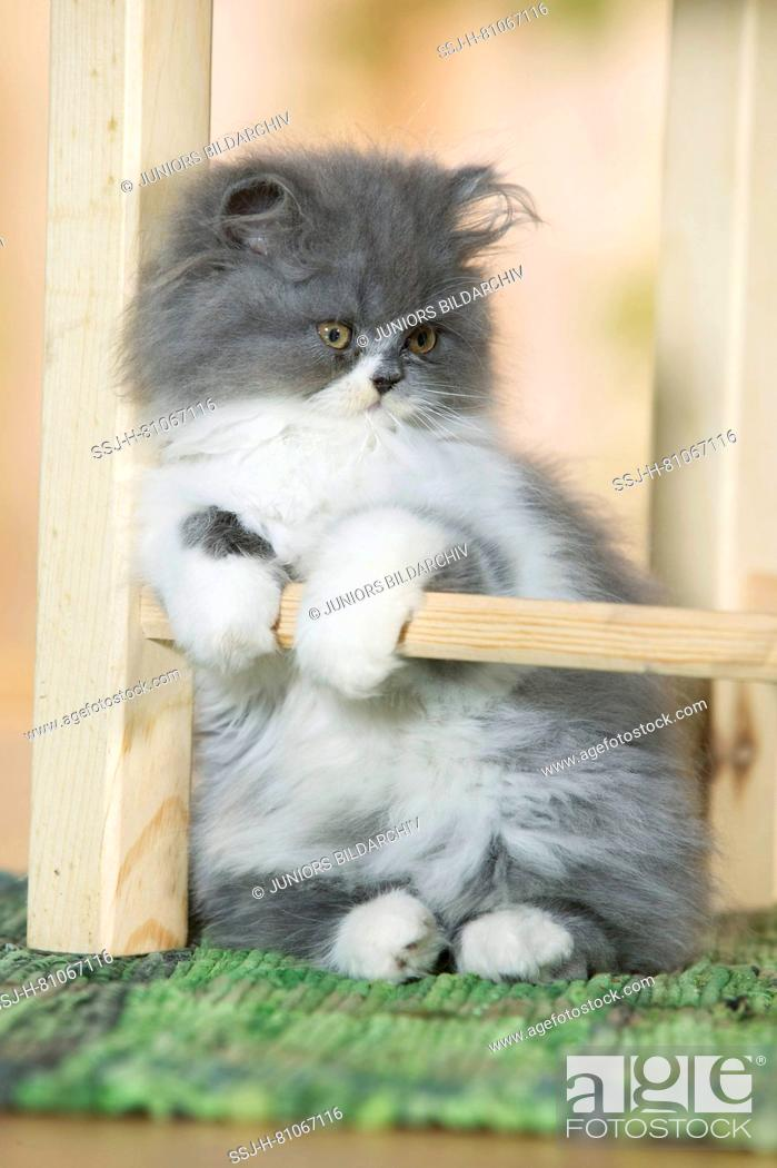 Stock Photo: Persian Cat. Kitten sitting under a chair. Germany.