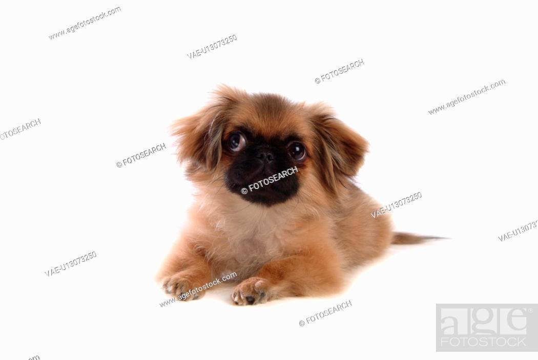 Stock Photo: faithful, domestic animal, companion, canine, close up, pekingese.