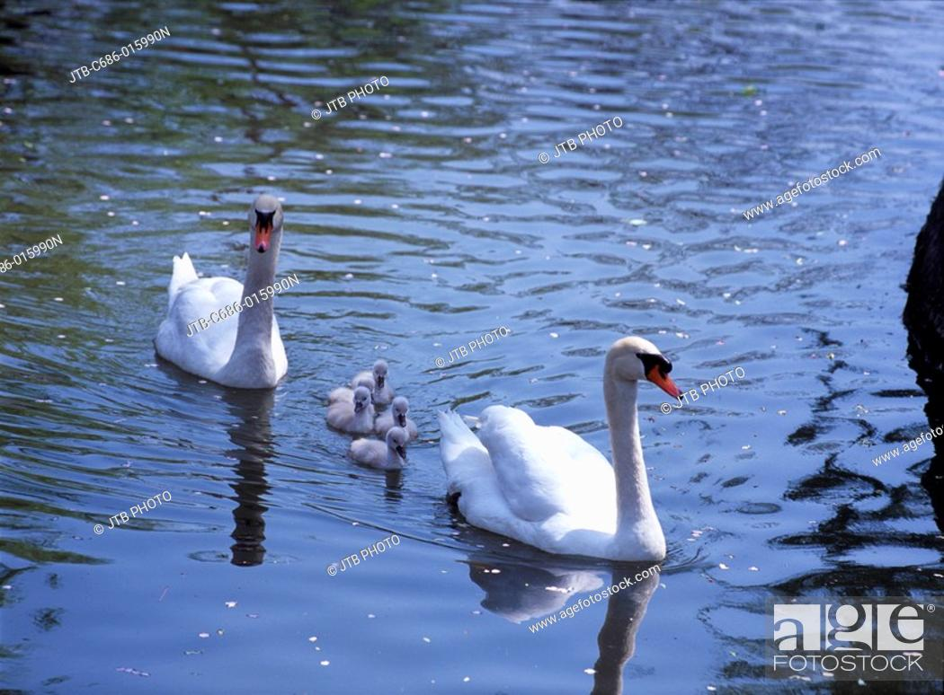 Stock Photo: swan parent and child water bird Water surface Wave.