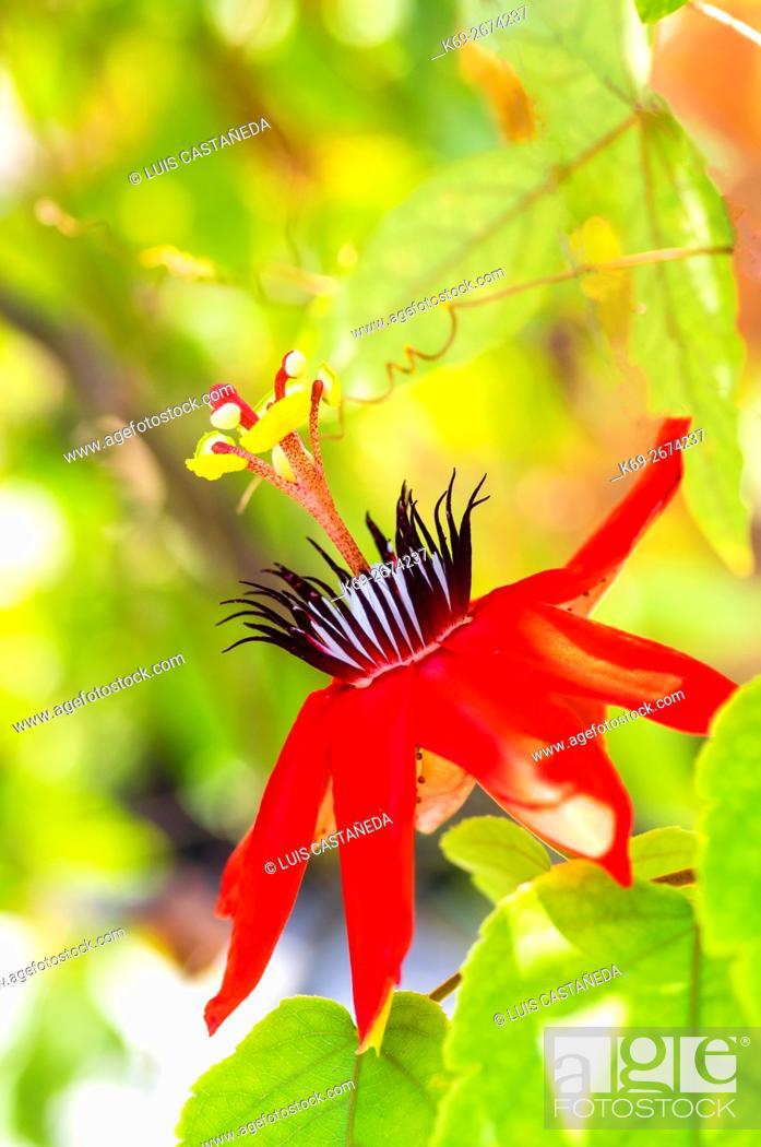 Stock Photo: Passion Flower (Passiflora miniata).