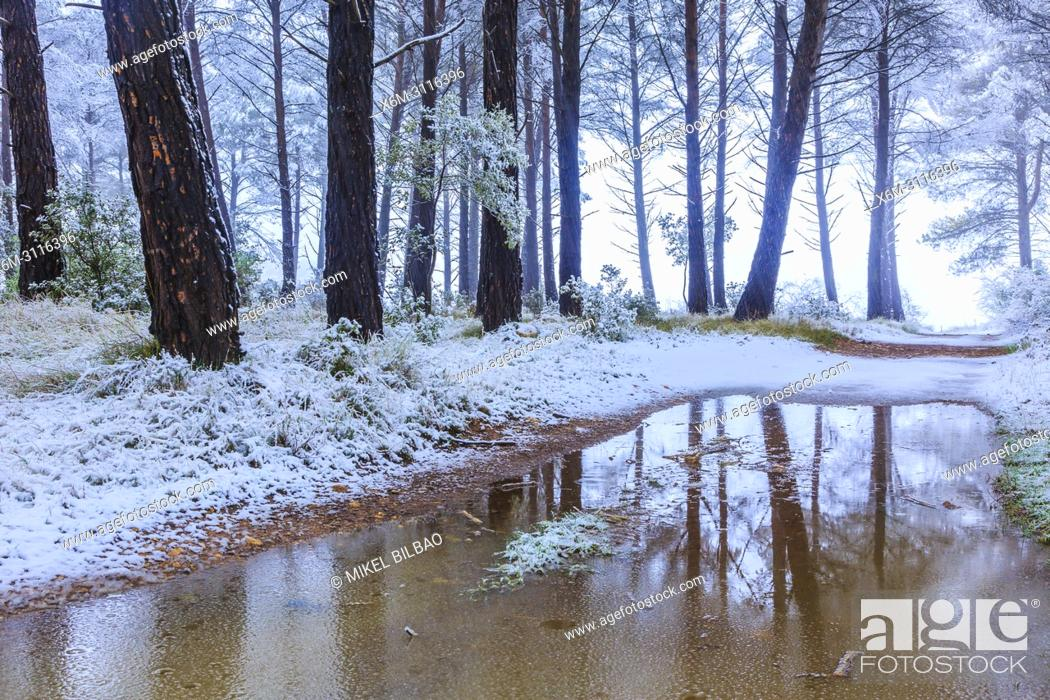 Imagen: Conifer forest and snow. Ayegui. Navarre, Spain, Europe.