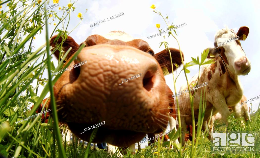 Stock Photo: Cow , pasture , switzerland.