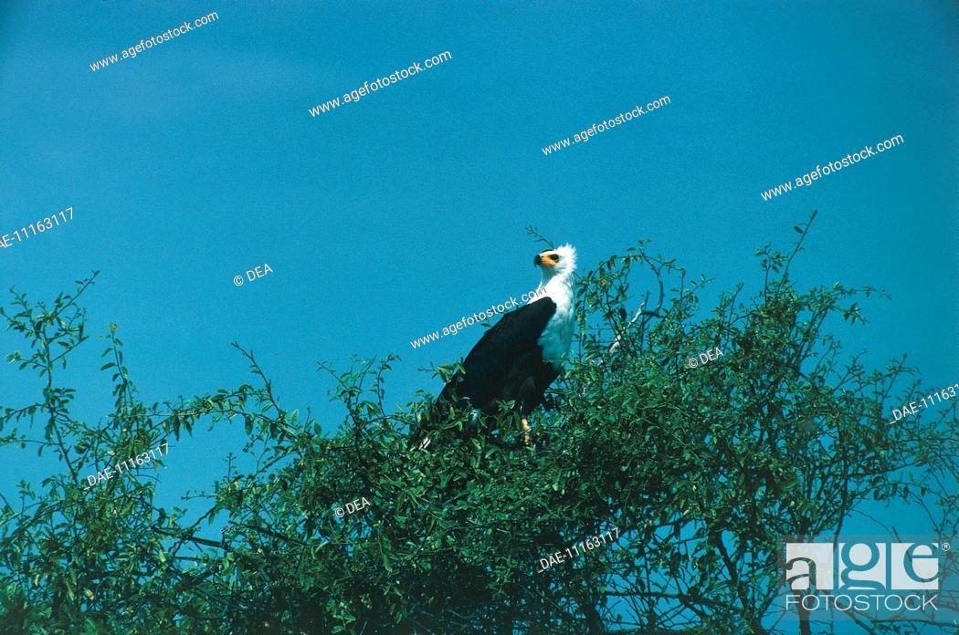 Stock Photo: Zoology - Birds - Falconiformes - African Fish Eagle (Haliaeetus vocifer) on tree.