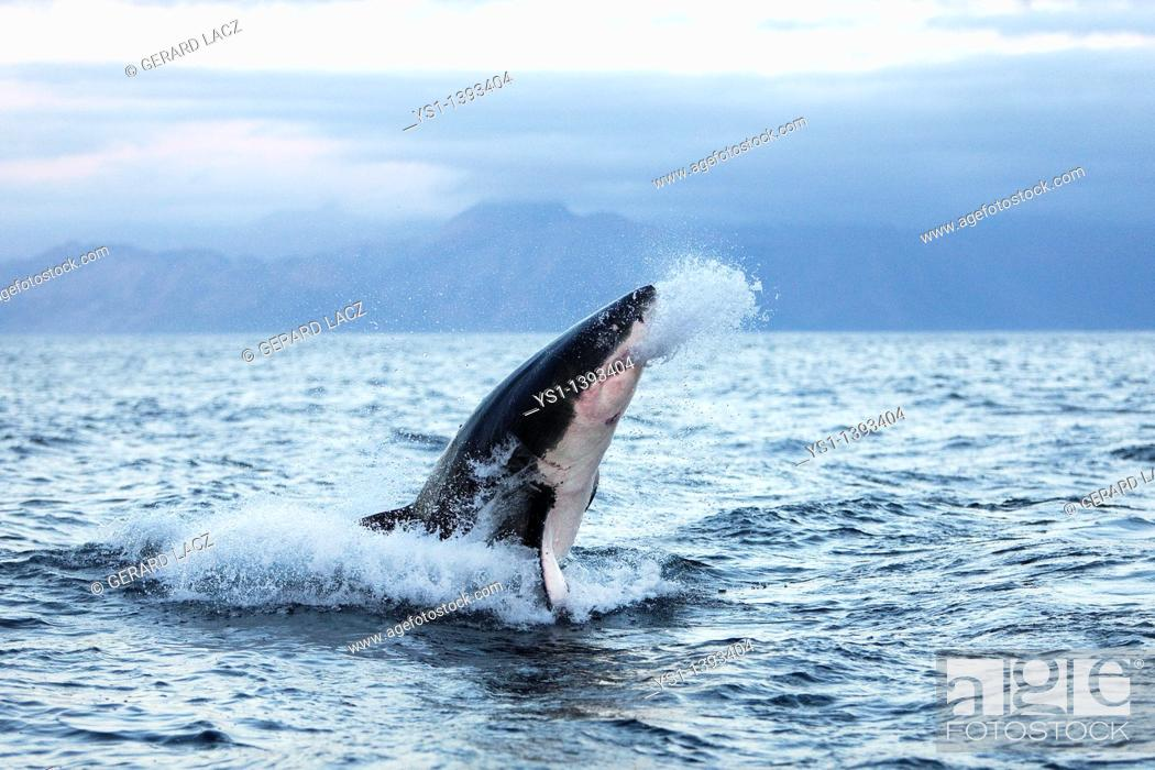 Stock Photo: Great White Shark, carcharodon carcharias, Adult Breaching, False Bay in South Africa.